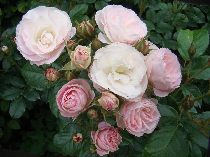 rosai serra vivai e rose da giardino selezione lens. Black Bedroom Furniture Sets. Home Design Ideas